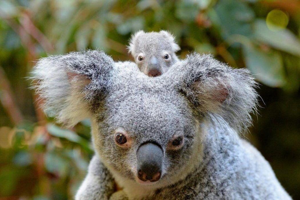 Australia Zoo S Super Cute Baby Animals Queensland