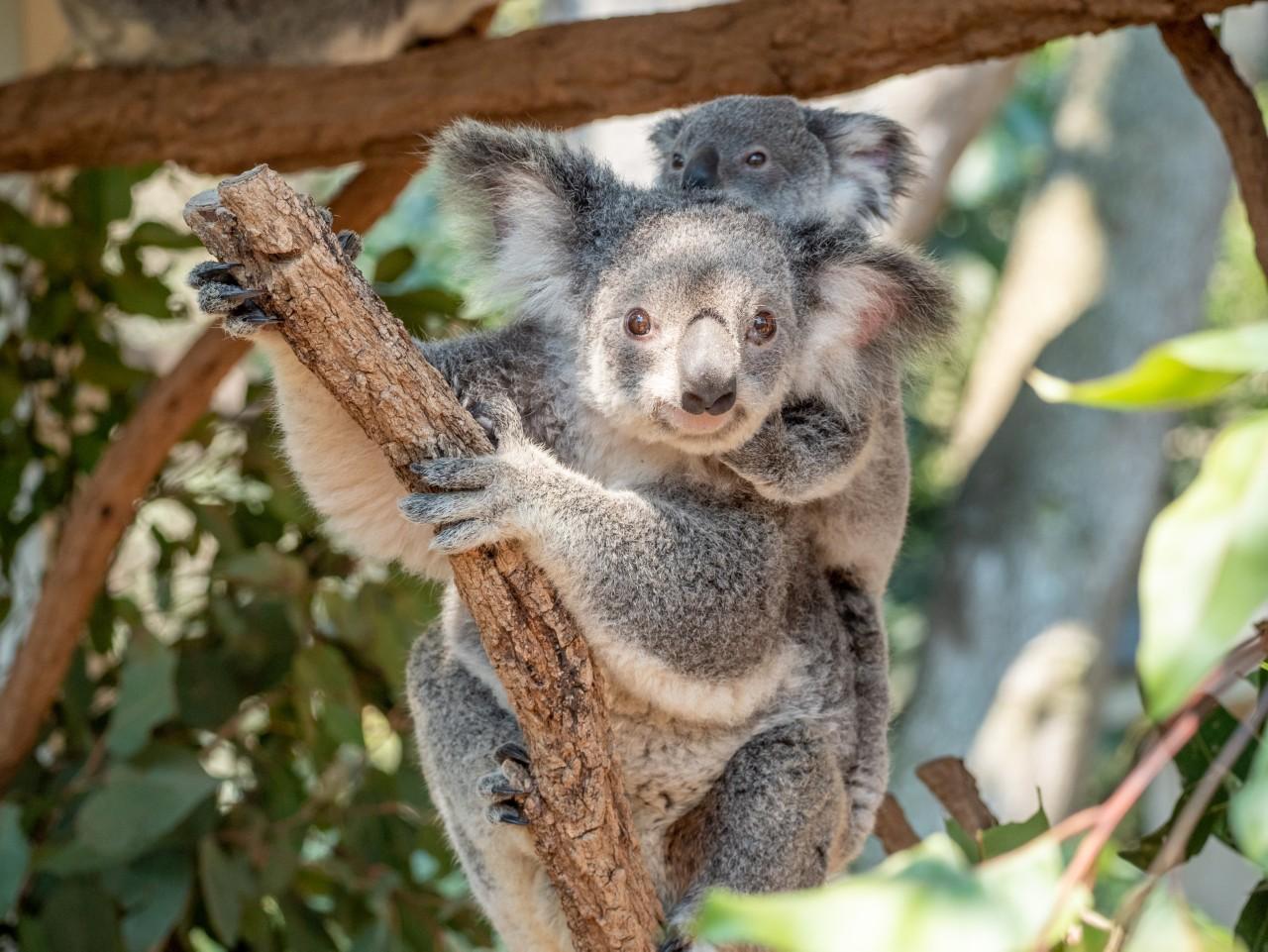 Koala at Lone Pine Koala Sanctuary   best things to do in Brisbane